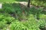 Native garden with eupatorium SlingerlandsNY 150x100 - Landscape Design Portfolio Albany's Capital District