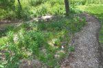 Native pollinator garden design Albany NY 150x100 - Landscape Design Portfolio Albany's Capital District