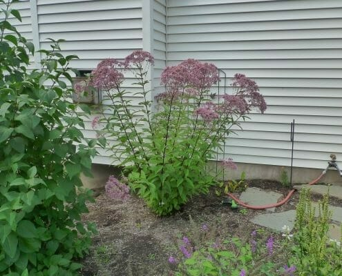 eupatorium little joe