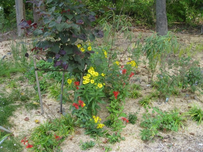 Native helenium and lobelia with redbud native garden designer slingerlands ny