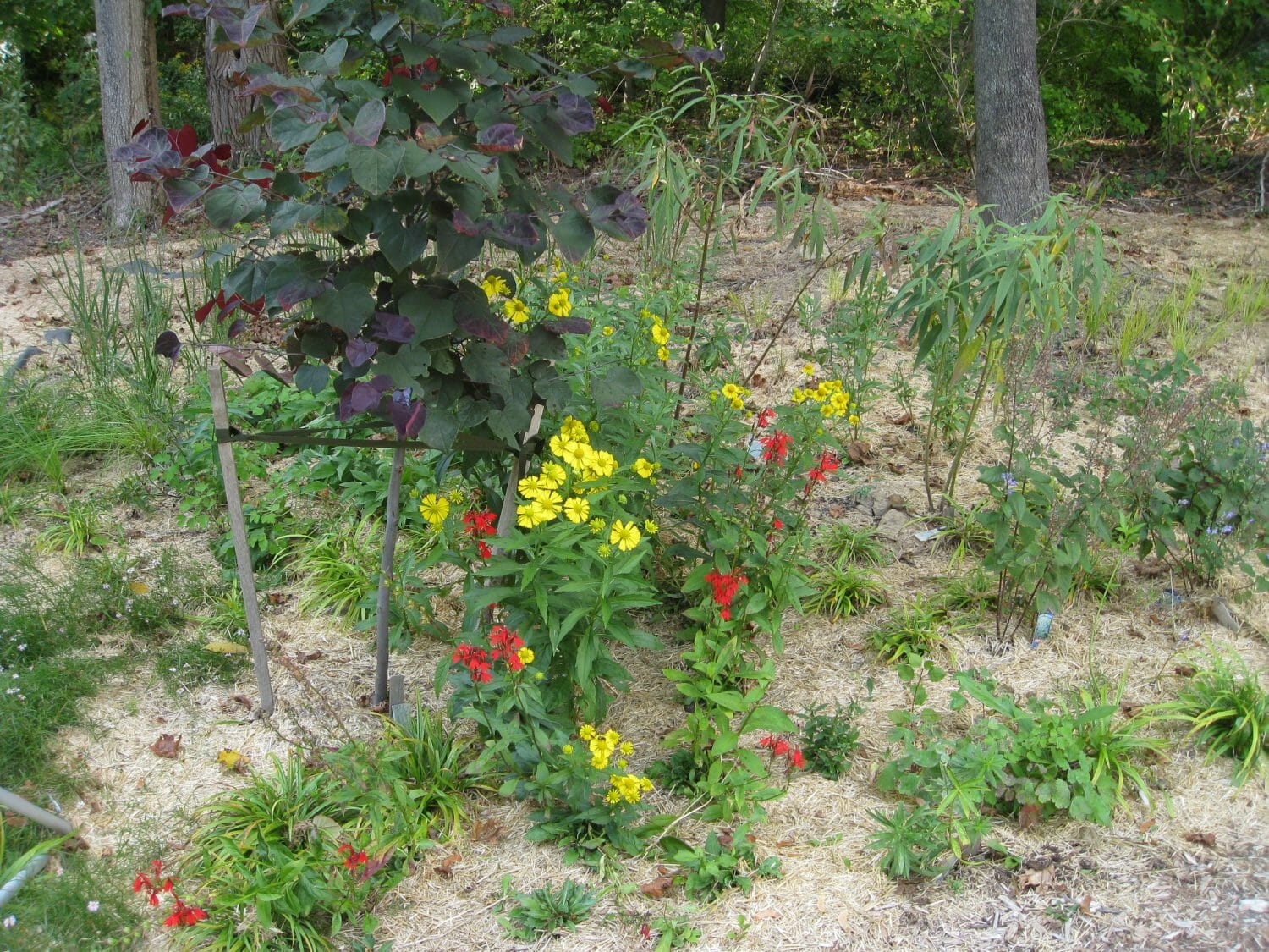 native helenium and lobelia with redbud native garden designer Slingerlands NY - Native Plant Consulting and Design