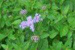 eupatorium coelinstinum native garden design albany ny 150x100 - Landscape Design Portfolio Albany's Capital District