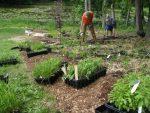 john kelly installing native perennials 150x113 - Landscape Design Portfolio Albany's Capital District