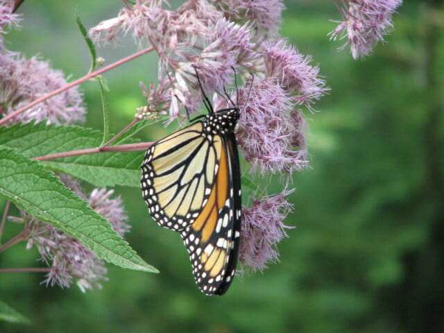 monarch butterfly on eupatorium - Landscape Design and Consulting