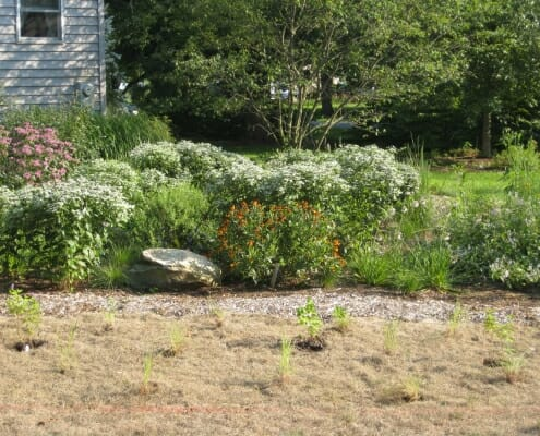 Mountain mint in native garden design